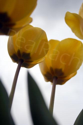 TulipsperspectiveSM