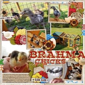 BrahmaChicks.jpg